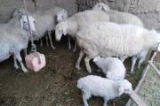 什么羊繁殖最快又好养:哪种绵羊繁殖快利润高?